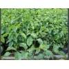 广州有哪几家名声好的广东绿宝树园艺公司 深圳绿宝树批发