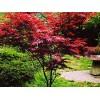 想要抢手的红枫就来信鸽绿化_优惠的紫红鸡爪槭